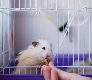 hamster comiendo en una jaula de hamster