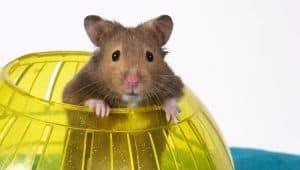hamster asomando por una jaula