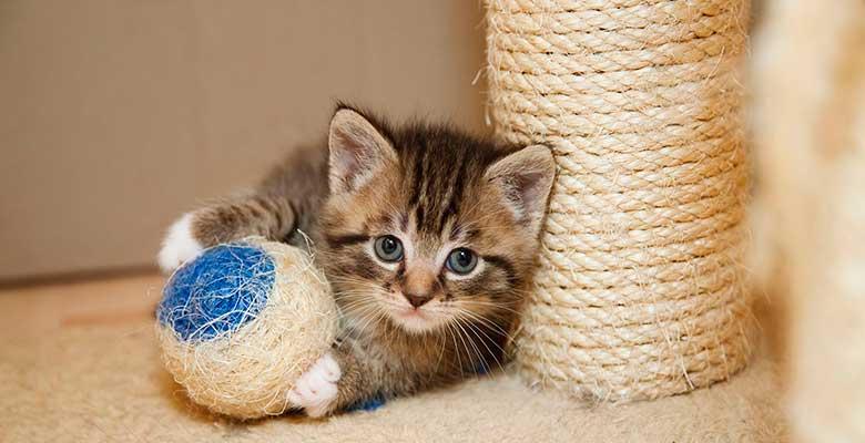 gato pequeño jugando