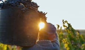 uva para el vino tinto
