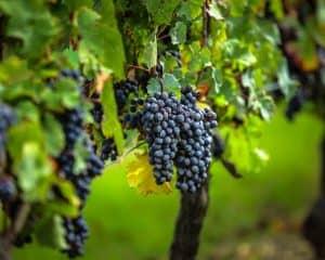 uva de vino tinto