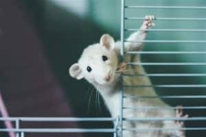 rata en una jaula para ratas